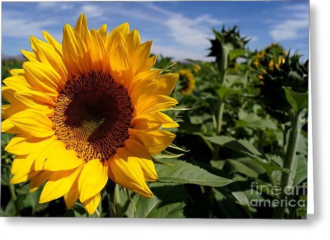 Sunflower Glow Greeting Card by Kerri Mortenson