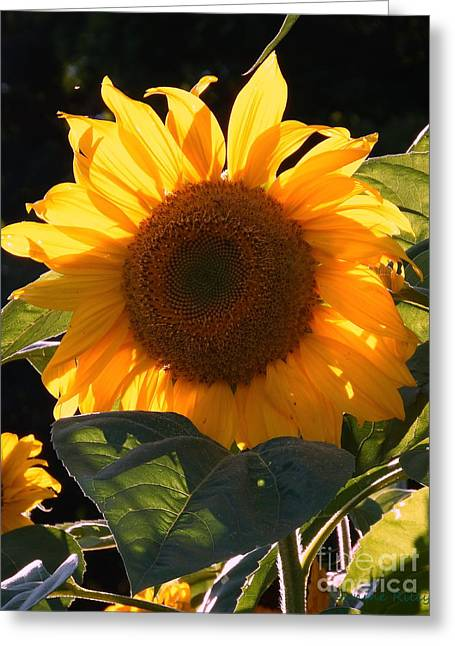 Sunflower - Golden Glory Greeting Card by Janine Riley