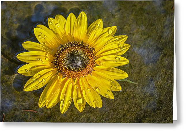 Birdbath Greeting Cards - Sunflower In Birdbath Greeting Card by Larry Pacey