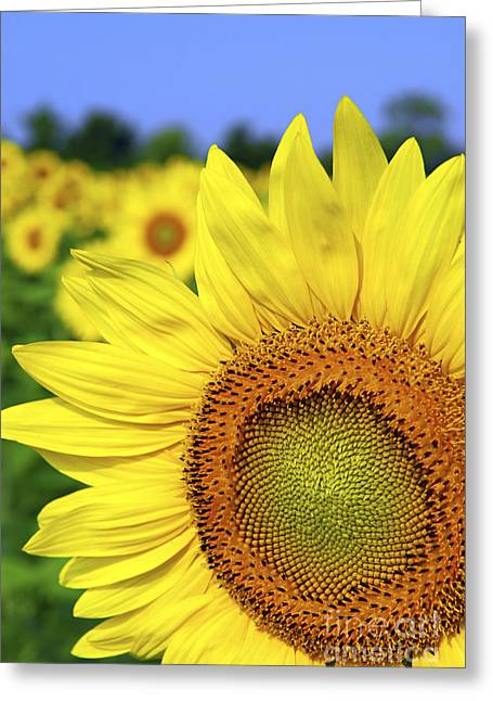 Yellow Sunflower Greeting Cards - Sunflower in field Greeting Card by Elena Elisseeva
