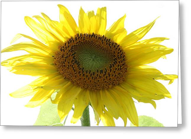 Wildflower Photography Greeting Cards - Sunflower in Light Greeting Card by Neal  Eslinger