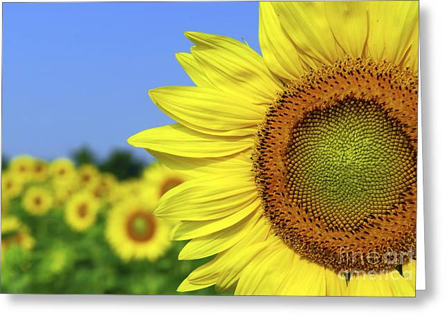 Yellow Sunflower Greeting Cards - Sunflower in sunflower field Greeting Card by Elena Elisseeva