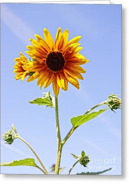 Farmstand Photographs Greeting Cards - Sunflower in the Sky Greeting Card by Kerri Mortenson
