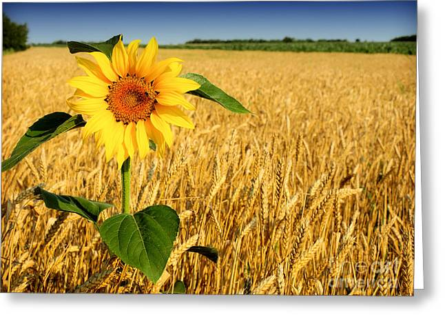 Bamboo Pyrography Greeting Cards - Sunflower in Wheat Greeting Card by Boon Mee