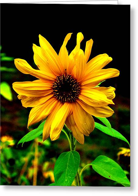 """flora Prints"" Greeting Cards - Sunflower Greeting Card by John Langdon"