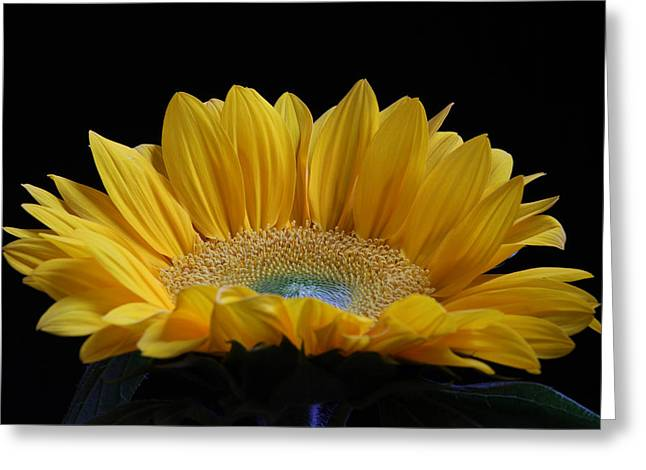 Purple Sensation Greeting Cards - Sunflower Greeting Card by Juergen Roth