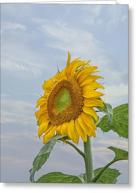 Yellow Sunflower Greeting Cards - Sunflower Greeting Card by Kim Hojnacki