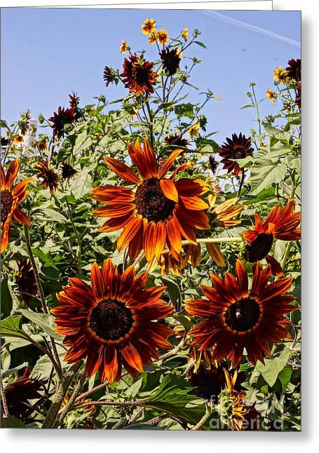 Farmstand Greeting Cards - Sunflower Layers Greeting Card by Kerri Mortenson