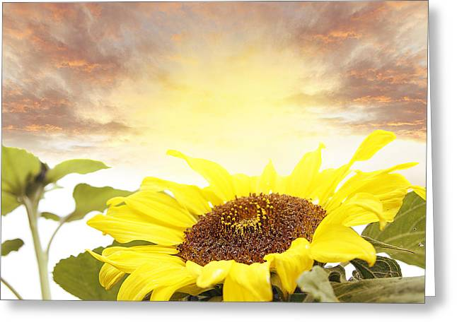 Bloom. Blossom Greeting Cards - Sunflower  Greeting Card by Les Cunliffe