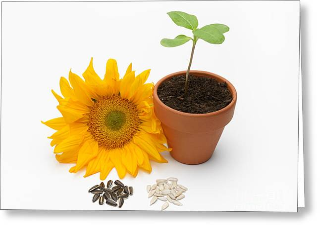 Seed Pot Greeting Cards - Sunflower Life Cycle Greeting Card by Martin Shields