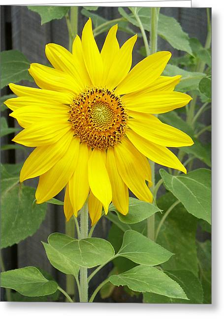 Botanical Greeting Cards - Sunflower Greeting Card by Lisa  Phillips