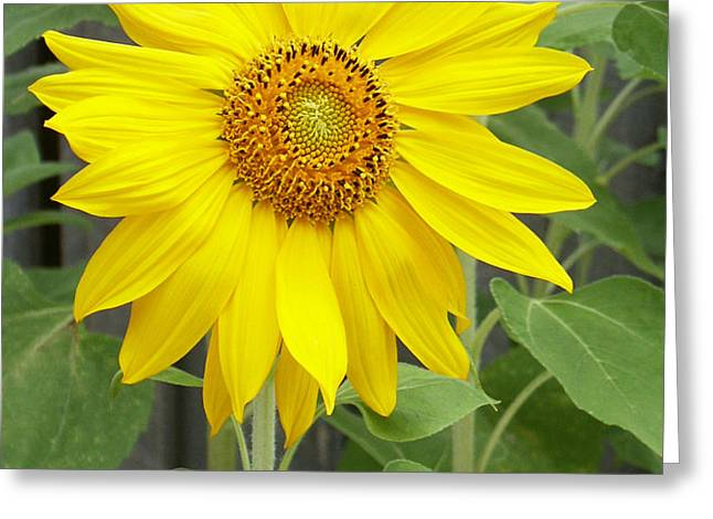 Sunflower Greeting Card by Lisa  Phillips