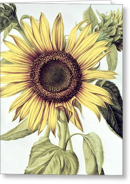 In Bloom Greeting Cards - Sunflower Greeting Card by Nicolas Robert