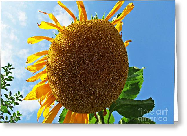 Sunflower Greeting Card by Olivia Narius
