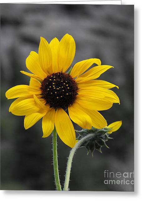 Floral Photos Greeting Cards - Sunflower on gray Greeting Card by Rebecca Margraf