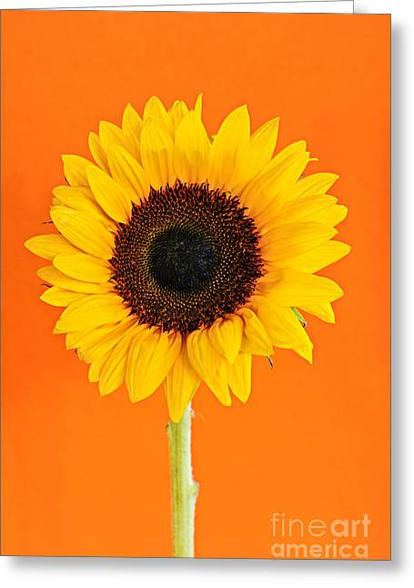 Colorful Blooms Greeting Cards - Sunflower on orange Greeting Card by Elena Elisseeva