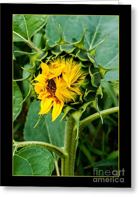 Shabbychic Greeting Cards - Sunflower Opening... Greeting Card by ShabbyChic fine art Photography
