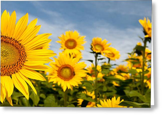 Floral Digital Art Greeting Cards - Sunflower Panorama Greeting Card by K Hines