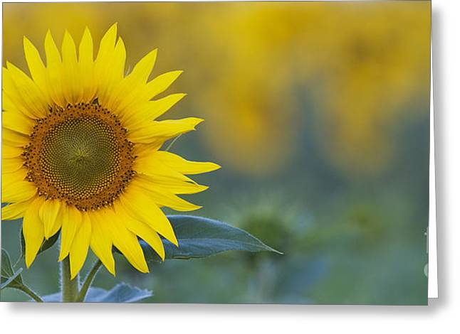 Asteraceae Greeting Cards - Sunflower Panoramic Greeting Card by Tim Gainey