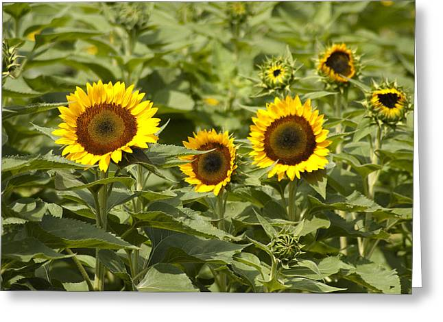 Sunflower Patch Greeting Cards - Sunflower Patch Greeting Card by Bill Cannon