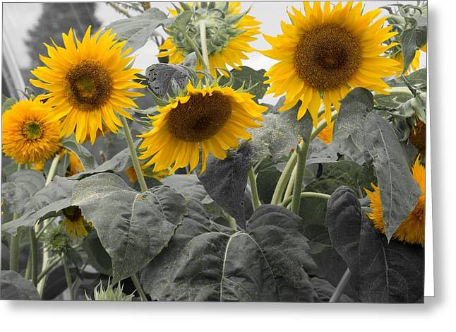 Sunflower Patch Greeting Cards - Sunflower patch Greeting Card by Derrick Jacobson