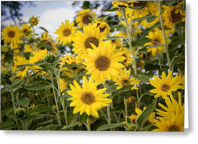 Sunflower Patch Greeting Cards - Sunflower Patch Greeting Card by Jef Franklin