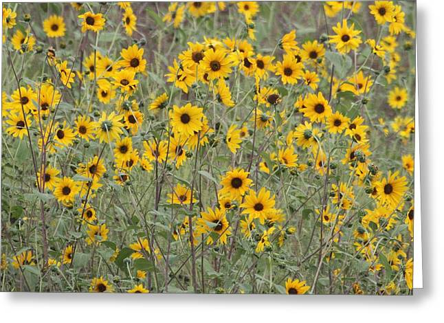 Sunflower Patch Digital Art Greeting Cards - Sunflower Patch On The Hill Greeting Card by Tom Janca