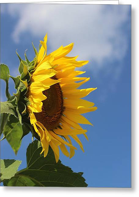 Photographers Conyers Greeting Cards - Sunflower Profile 2 Greeting Card by Cathy Lindsey