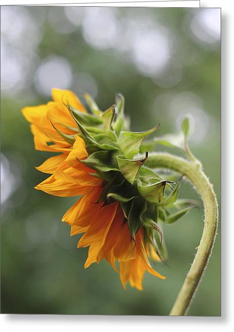 Side Porch Greeting Cards - Sunflower Profile Greeting Card by Terry DeLuco