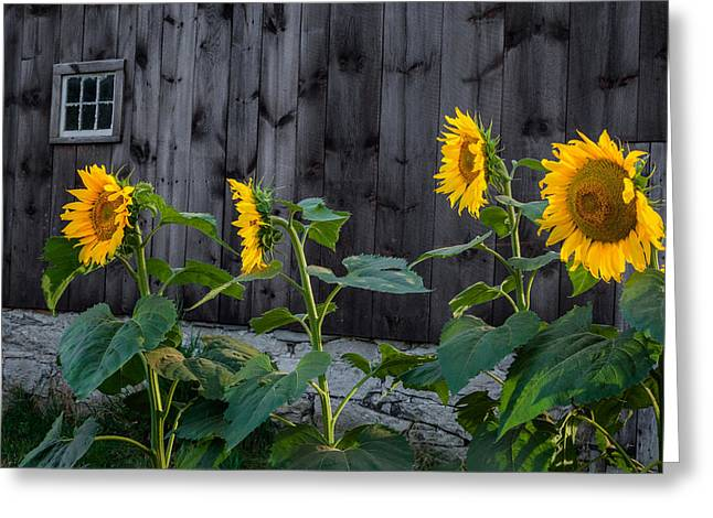 Farms Greeting Cards - Sunflower Quartet Greeting Card by Bill  Wakeley