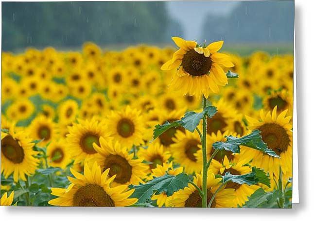 Bathroom Prints Greeting Cards - Sunflower Rain Sussex NJ Greeting Card by Terry DeLuco