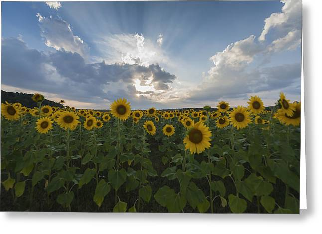 Bathroom Prints Greeting Cards - Sunflower Rays Augusta NJ Greeting Card by Terry DeLuco