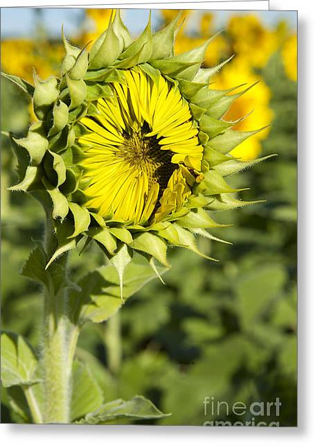 Indiana Flowers Greeting Cards - Sunflower Ready Set Go at Mississinewa Greeting Card by Lee Craig