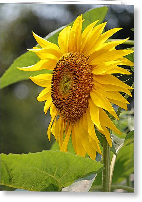 Enhanced Greeting Cards - Sunflower Series III in Watercolor Greeting Card by Suzanne Gaff