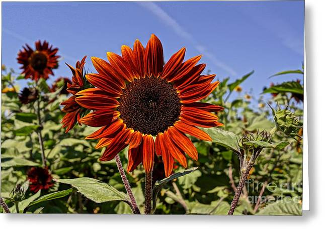 Farmstand Greeting Cards - Sunflower Sky Greeting Card by Kerri Mortenson
