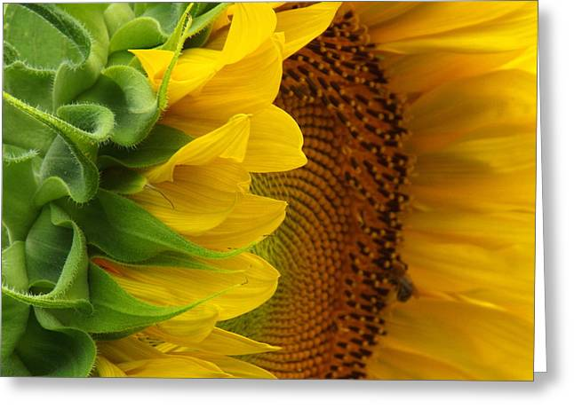 East Dennis Greeting Cards - Sunflower Smile Greeting Card by Dianne Cowen