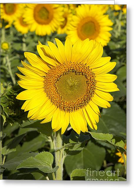 Indiana Flowers Greeting Cards - Sunflower Standout Greeting Card by Lee Craig
