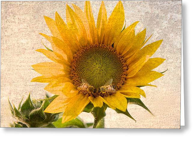 Sunflower Art Greeting Cards - Sunflower - Sun Kiss Greeting Card by John Hamlon