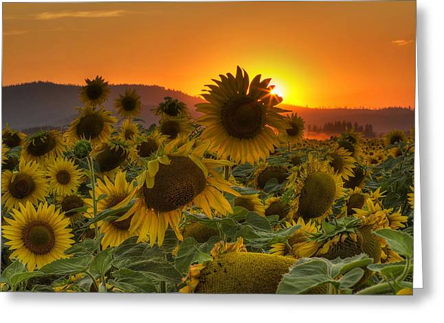 Field. Cloud Greeting Cards - Sunflower Sun Rays Greeting Card by Mark Kiver