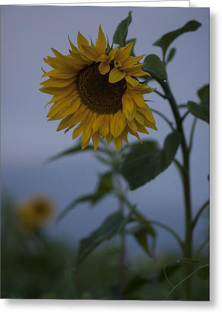 Deutschland Greeting Cards - SunFlower SunRise Greeting Card by Miguel Winterpacht