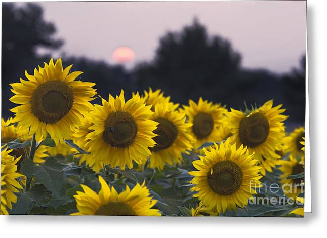 Indiana Flowers Greeting Cards - Sunflower Sunset - D008554 Greeting Card by Daniel Dempster