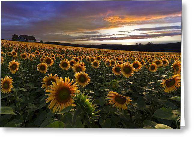 Swiss Photographs Greeting Cards - Sunflower Sunset Greeting Card by Debra and Dave Vanderlaan