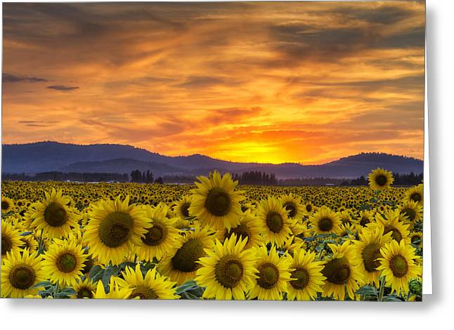 Cheery Greeting Cards - Sunflower Sunset Greeting Card by Mark Kiver
