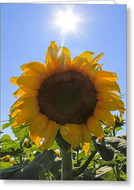 Yellow Sunflower Pyrography Greeting Cards - Sunflower Sunshine Greeting Card by Cassandra NightThunder