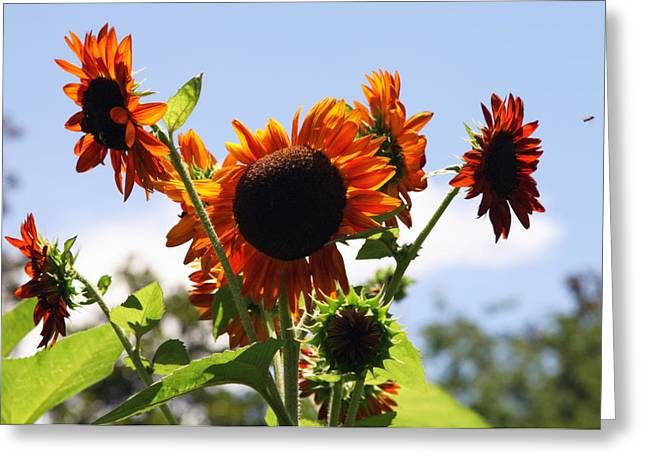 Bee In Flight Greeting Cards - Sunflower Symphony Greeting Card by Karen Wiles