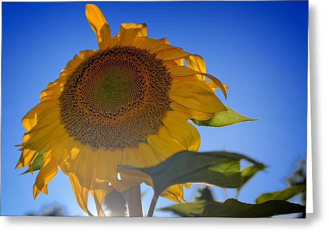 Nature Greeting Cards - Sunflower Three Greeting Card by Chris Bordeleau