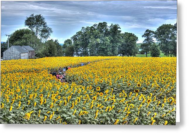 Griswold Connecticut Greeting Cards - Sunflower trail Greeting Card by Marcel  J Goetz  Sr
