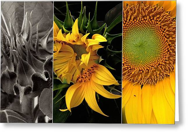 Girasol Greeting Cards - Sunflower-Triptych Greeting Card by Don Spenner