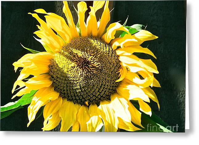 Canmore Artist Greeting Cards - Sunflower Greeting Card by Virginia Ann Hemingson