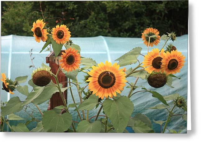 Wahoo Greeting Cards - Sunflower Wahoo Multi Headed Greeting Card by Kevin F Cook